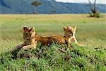Jeunes lions, Masai Mara National Reserve, Kenya, Afrique de l'est, Afrique