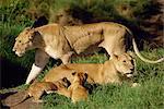 Lionnes et lionceaux, réserve nationale de Masai Mara, Kenya, Afrique de l'est, Afrique