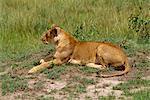 Lion, Masai Mara National Reserve, Kenya, Afrique de l'est, Afrique