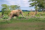 Dommages d'éléphant, Kenya, Afrique de l'est, Afrique
