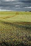 Field, Skovby, Region Midtjylland, Jutland Peninsula, Denmark