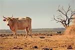 Bull on Farm, Near Austin, Texas, USA