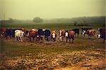 Herd of Cows, Near Austin, Texas, USA