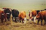 Herd of Cows Eating Hay, Near Austin, Texas, USA