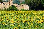 Sunflowers, Cortona, Province of Arezzo, Tuscany, Italy