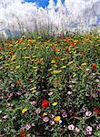 Avril fleurs printanières, près de Aidone, zone centrale, l'île de Sicile, Italie, Méditerranée, Europe