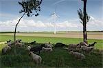 Flock of Sheep and Windfarm, Hoedekenskerke, Zeeland, Netherlands