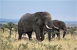 African Elephants, Masai Mara, Kenya, Afrique