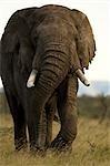 Bull African Elephant, Masai Mara, Kenya, Africa
