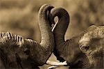 African Elephants Sparring, Masai Mara, Kenya, Africa