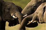 African Elephants Playing, Masai Mara, Kenya, Africa