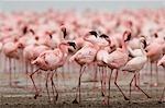 Flock of Flamingos, Lake Nakuru, Kenya, Africa