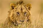 Gros plan du Male Lion, Masai Mara, Kenya, Afrique