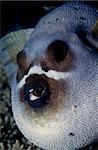 Inflated pufferfish