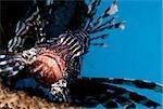 Close-up of lionfish.