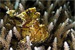 Leaf scorpionfish on coral.