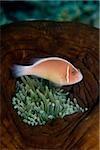 Anemonefish in anemone.