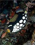 Close up of Clown triggerfish.