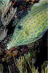 Close-up of Scrawled filefish.