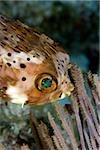 Close-up of balloon fish.