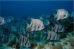 School of Atlantic spadefish.