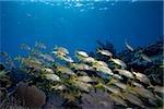 Schooling fish on reef crest.