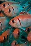Blackbar soldier fish.