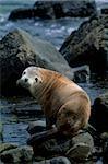 Australian sea lion.