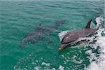 Swimming dolphin.