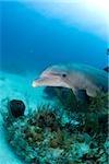 Bottlenose dolphin underwater.