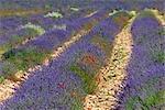 Gros plan du champ de lavande, Sault, Provence, France