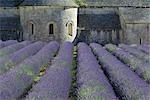 Lavender Field, Senanque Abbey, Vaucluse, Provence, France