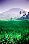 Rizières de Bali, en Indonésie, Mont Agung en arrière-plan.