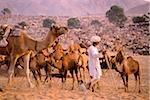 Inde, Rajasthan, Pushkar, un homme se prépare pour la nuit par attacher ses chameaux.