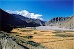 Nepal, Kagbeni, Summer grain crops, Annapurna mountains in background.