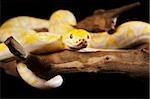 Jaune Abino Python sur une branche d'arbre