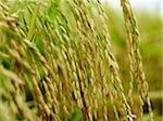 gros plan de tiges de riz