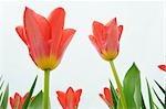Tulipes Fosteriana