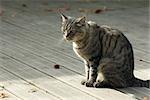 Chat tigré, assis sur le pont