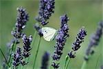 Petit papillon sur les fleurs de lavande