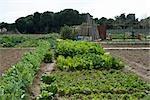 Légumes-feuilles poussant dans le jardin
