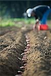 Agriculteur de planter des pommes de terre en ligne