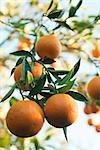 Orange tree heavy with ripening fruit
