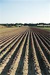 Vegetable seedlings growing in uniform furrows of plowed field