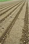 Pommes de terre plantées dans le champ labouré