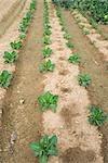 Légumes poussant dans les lignes de champ
