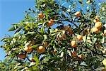 Orange tree heavy with ripe fruit