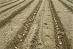 Pommes de terre plantées en sillons soignées