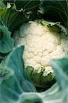 Cauliflower growing, close-up