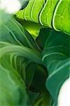 Cauliflower greens, extreme close-up